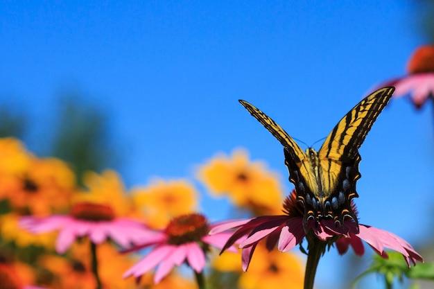 Borboleta rabo de andorinha em flores de echinacea