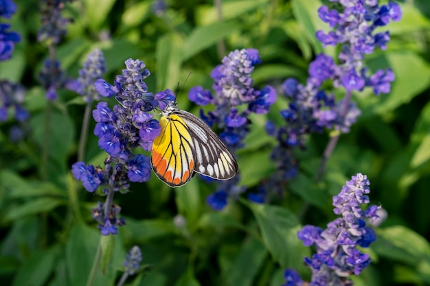 Borboleta tigre em fundo de flor