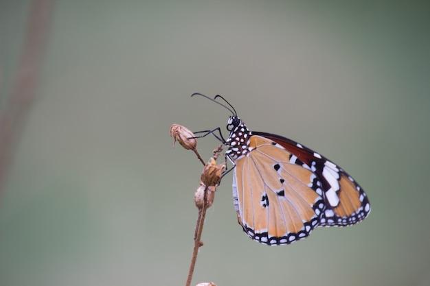 Borboleta tigre nas plantas de flor