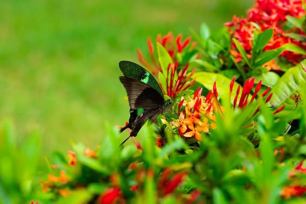Borboleta tropical papilio maackii poliniza flores