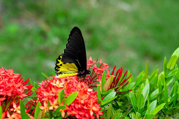 Borboleta tropical troides helena poliniza flores no jardim.