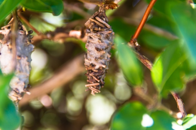 Borboleta worm pupa oiketicus kirbyi no verão