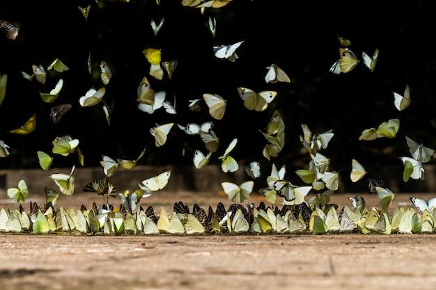 Borboletas comendo e voam na natureza