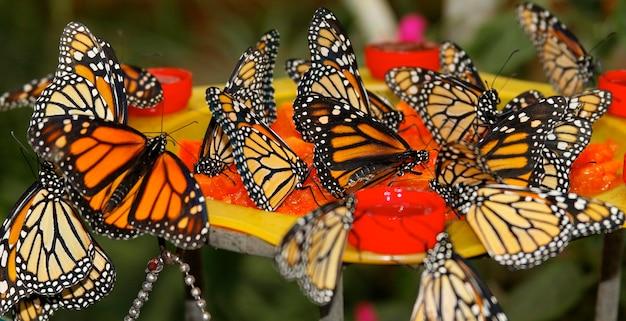 Borboletas laranja sentadas em uma flor vermelha