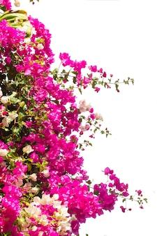 Borda de flores de buganvílias isoladas em fundo branco