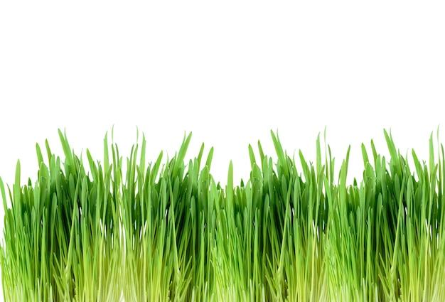 Borda de folha verde de cereais germinados, grama isolada no fundo branco, close-up