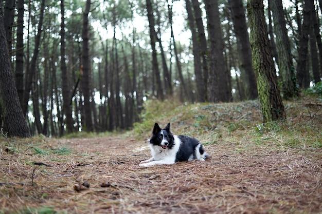 Border collie branco e preto em uma paisagem de floresta