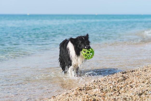 Border collie com bola na boca enquanto corre na praia