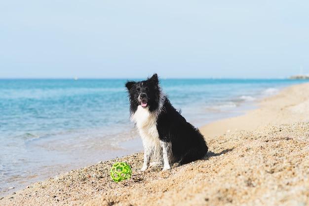 Border collie com bola na boca enquanto está sentado na praia