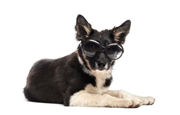 Border collie deitado e usando óculos escuros