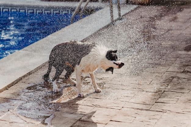 Border collie preto e branco, um cachorro fofo brincando na piscina e se divertindo durante as férias de verão