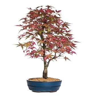Bordo bonsai, isolado no branco