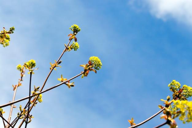 Bordo florido close-up verde primavera durante o ano céu azul