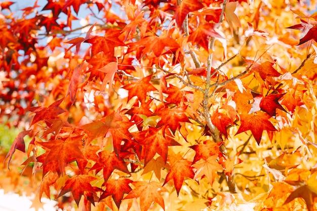 Bordo vermelho com folhas de outono em uma árvore