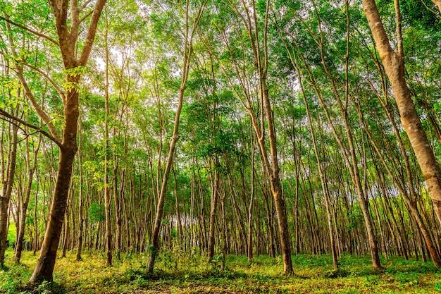 Borracha de árvore de plantação ou borracha de árvore de látex no sul da tailândia