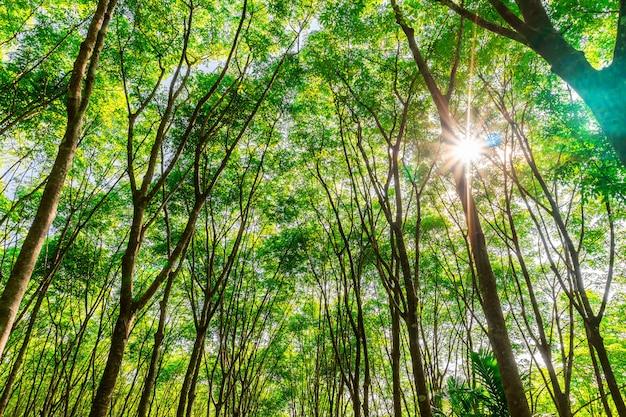 Borracha de árvores de plantação ou borracha de árvores de látex no sul da tailândia
