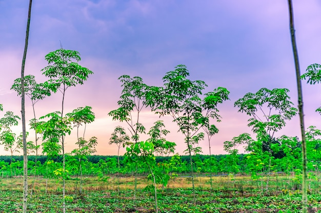 Borracha de latrx de plantação ou seringueira ou seringueira do sul da tailândia