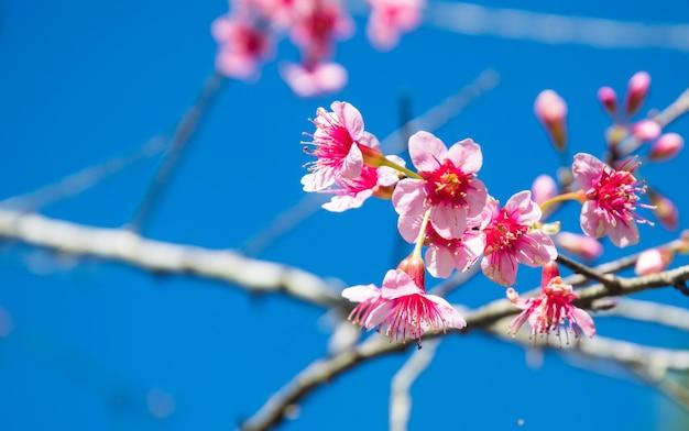 Borrado de flor dos cerasoides do prunus no fundo do céu azul.
