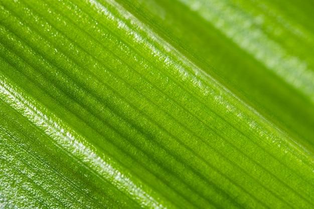 Borrão de textura de folha pandan