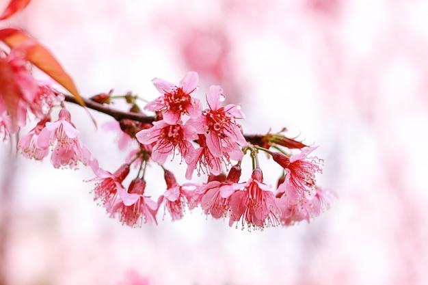 Borrão e foco suave fresco wild himalayan cherry