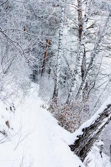 Bosque de árvores de vidoeiro no entardecer de inverno. paisagem montanhosa de inverno com árvores e neve