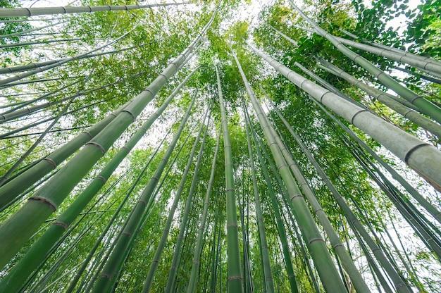 Bosque de bambu, floresta de bambu em arashiyama, japão