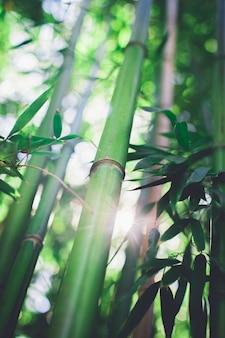 Bosque de bambu, floresta de bambu natural verde
