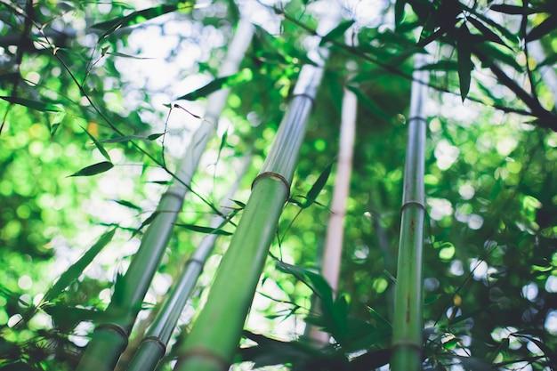 Bosque de bambu, floresta natural de bambu verde