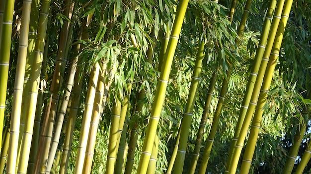 Bosque de bambu, fundo verde natural de floresta de bambu