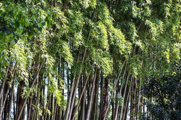 Bosque de bambu verde no jardim botânico de batumi, geórgia