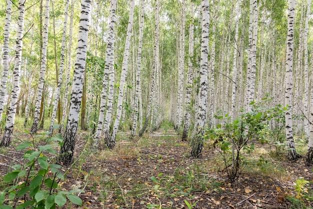 Bosque de bétulas em um dia ensolarado de verão, paisagem de verão, fundo abstrato