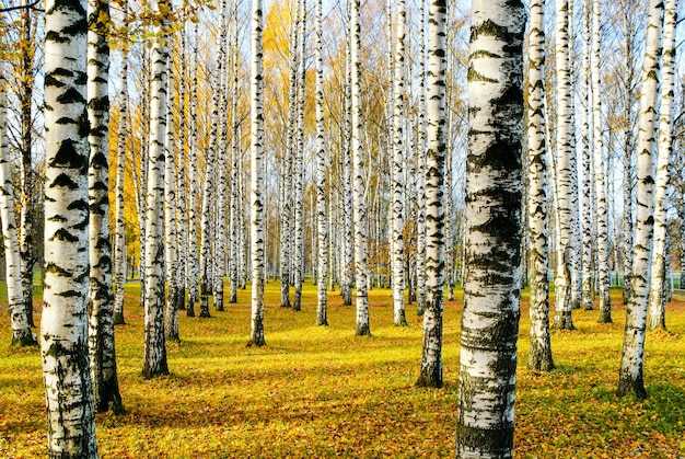 Bosque de bétulas no outono