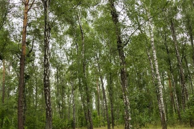 Bosque de bétulas pela manhã. natureza