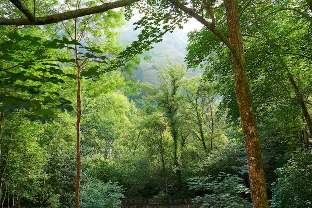Bosque de covadonga em astúrias picos europa