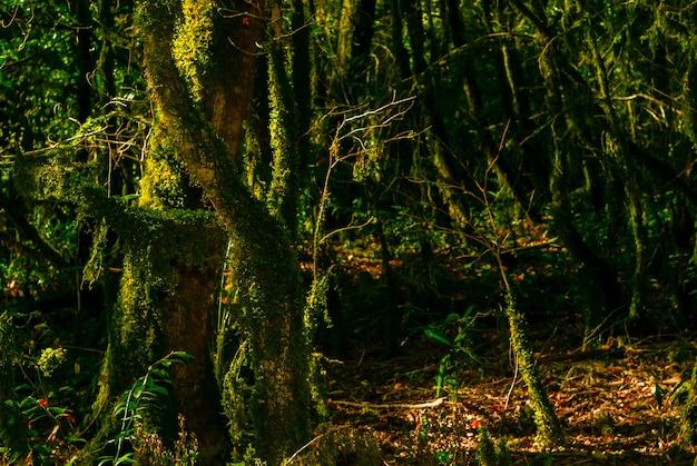 Bosque de teixos de floresta subtropical ao fundo com troncos de árvores cobertas de musgo