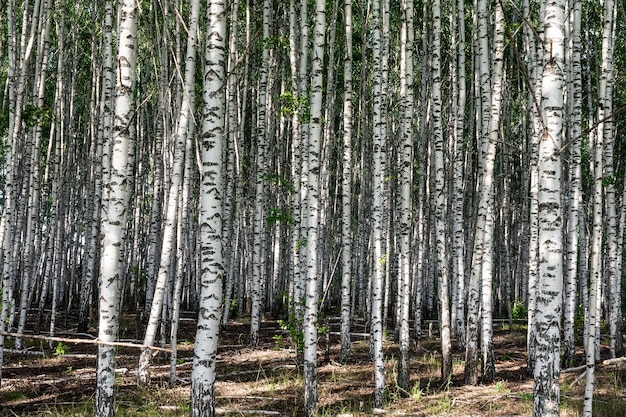 Bosque de vidoeiros