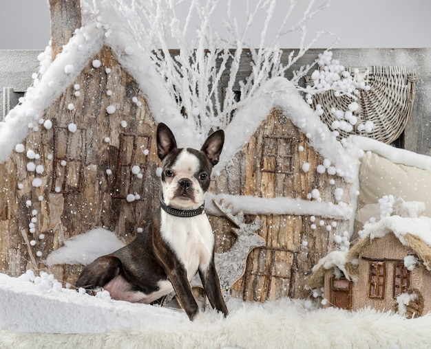 Boston terrier em frente a um cenário de natal