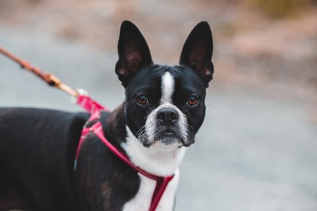 Boston terrier preto e branco com colar vermelho