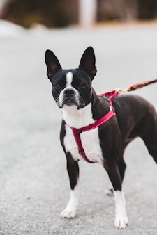 Boston terrier preto e branco com trela vermelha e preta