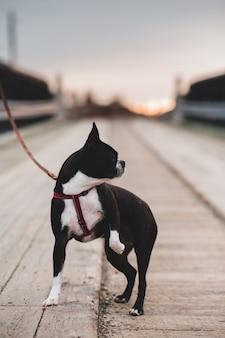 Boston terrier preto e branco na estrada durante o dia