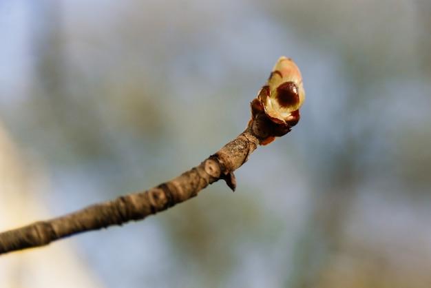 Botão de castanheiro brilhante de perto em um parque de primavera
