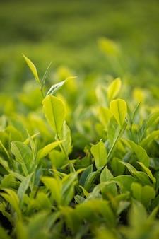 Botão de chá verde e folhas frescas. plantações de chá.