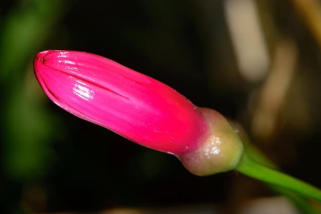 Botão de flor, conhecido como lágrima de cristo