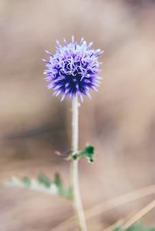 Botão de flor do cardo globo violeta no dia de outono em marrom