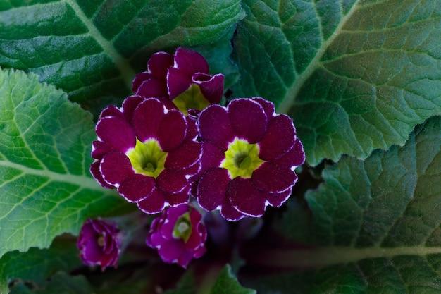 Botão de florescência da flor de prímula perene no jardim de verão.