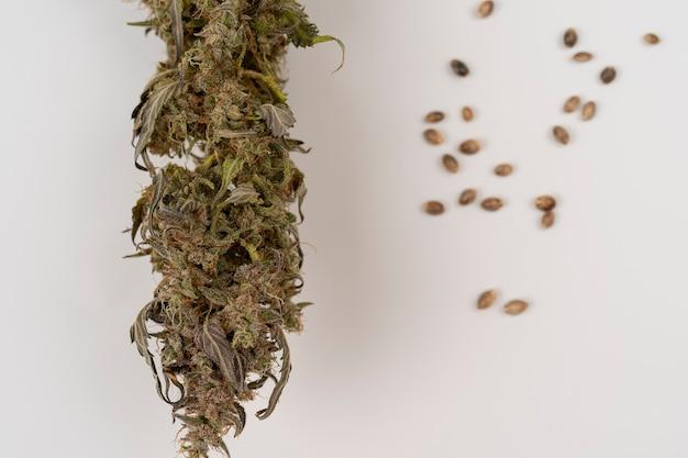 Botão de maconha seco com thc visível isolado no fundo branco sementes de cânhamo e cannabis seca
