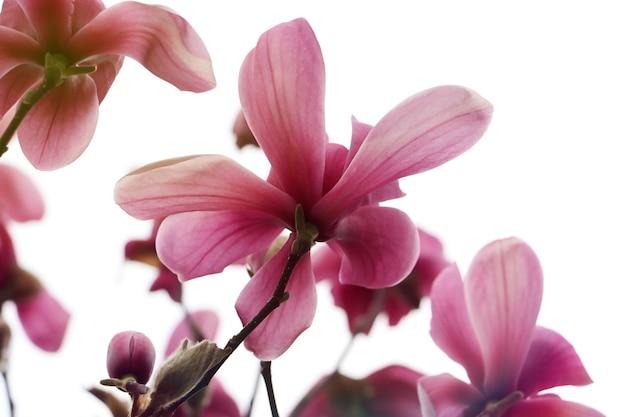 Botão de magnólia em flor. vista inferior. linda luz ensolarada. brunch com vários botões no fundo branco.