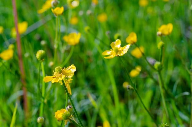 Botão-de-ouro do campo amarelo no período de floração