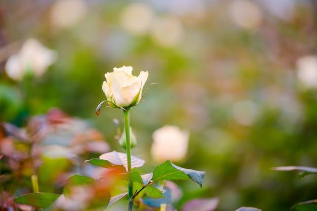 Botão de rosa branca perto de um arbusto, o fundo está desfocado