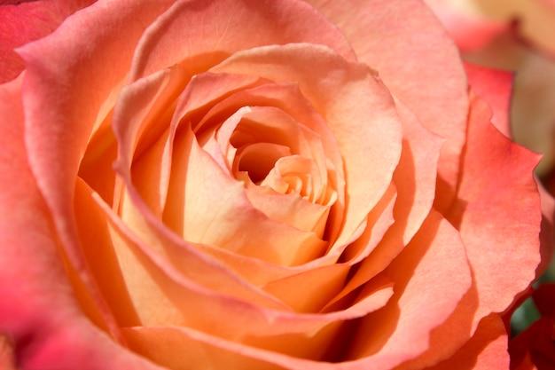 Botão de rosa em flor fecha como pano de fundo